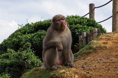 Visiting with Japanese macaque monkey's at the Arashiyama Iwatayama Monkey Park - Arashiyama, Kyoto, Japan.
