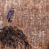 Blue Heron at Bombay Hook