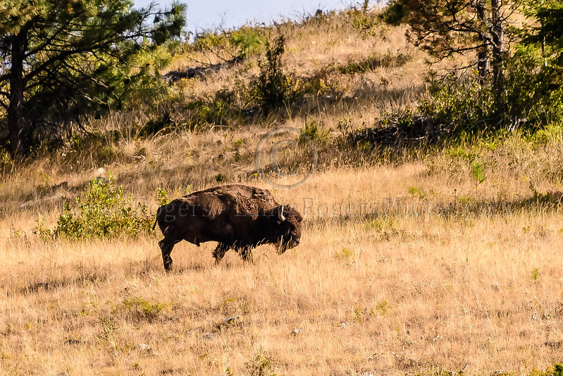 Bison roam free on the National Bison Reserve