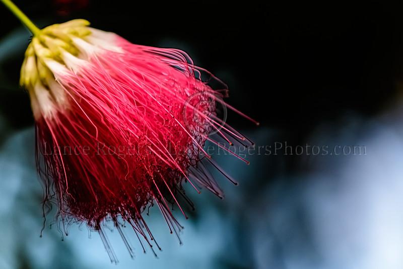 Scarlet Powder Puff Tree @ Longwood Gardens