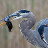 Great Blue Heron - Everglades National Park