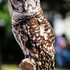 Recovering Barred Owl - One Eye