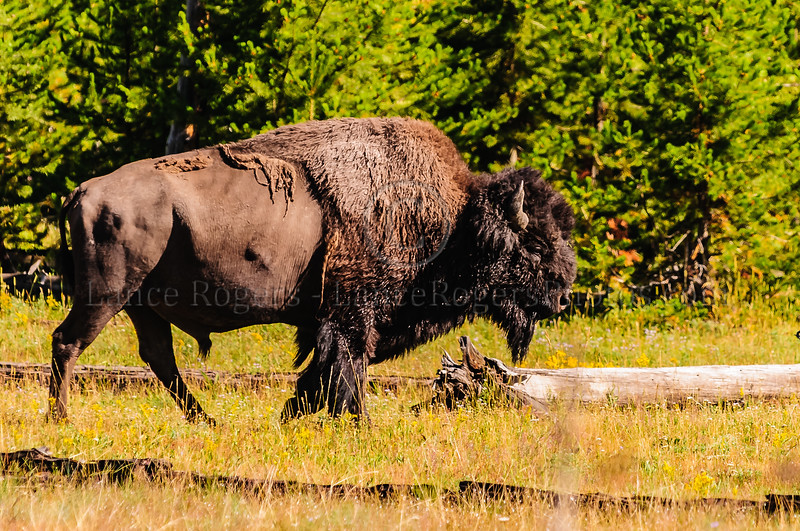 Where the Bison roam in Yellowstone