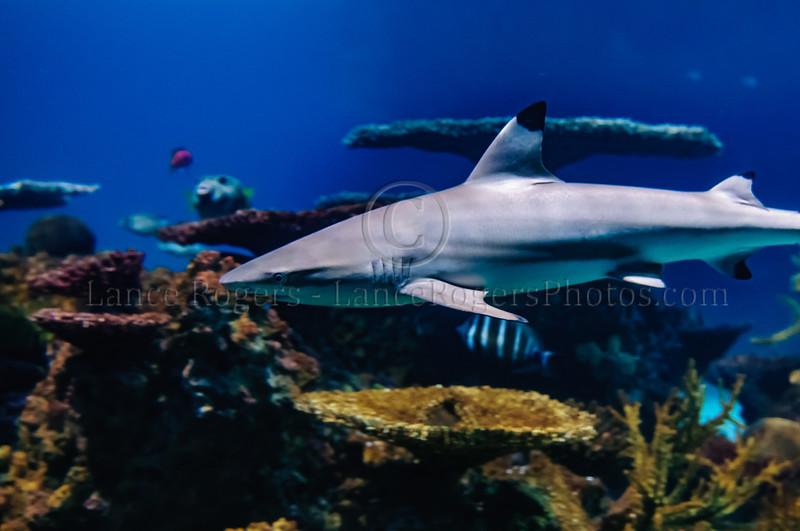 Black Tip Reef Shark @ Baltimore Aquarium