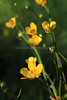 IMG_4482BealFallsWildflowers