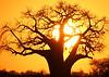 Sun setting behind a Baobab tree in Tanzania
