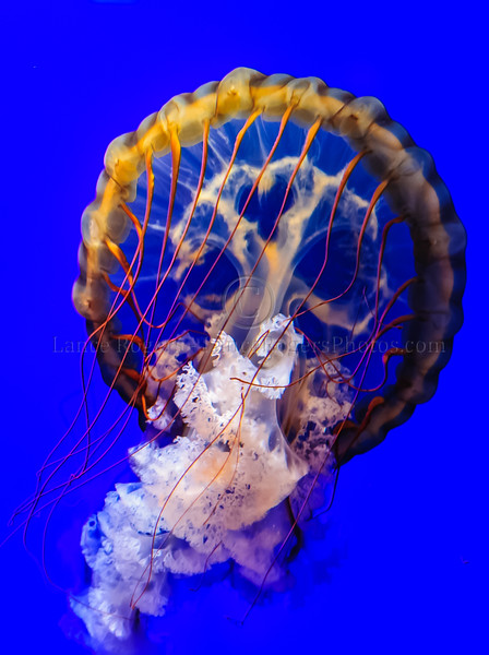 Pacific Sea Nettle (Chrysaora fuscescens) @ National Aquarium