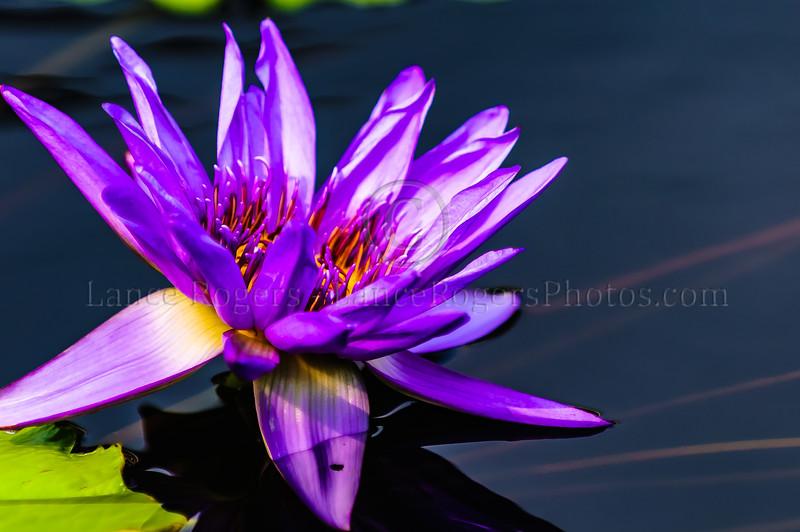 Longwood Gardens Waterlily