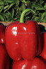IMG_9611RedBellPeppers