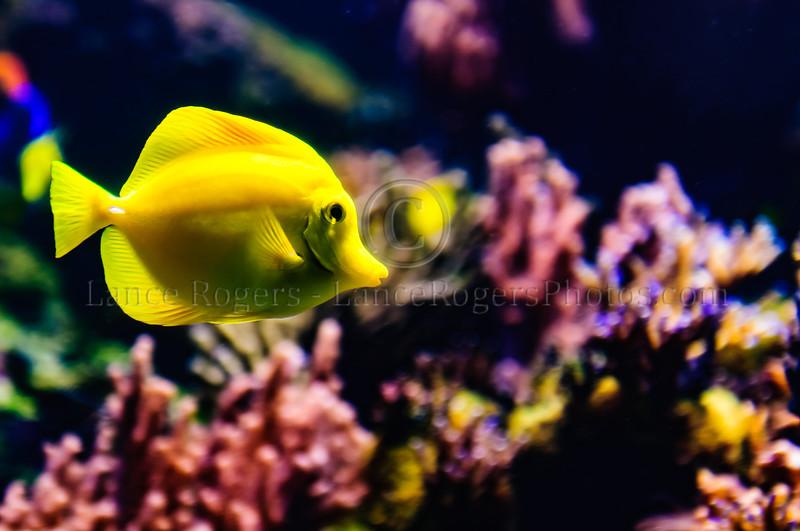 Yellow Tang National Aquarium