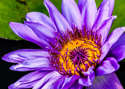 Longwood Water Lily, Longwood Gardens https://longwoodgardens.org/  Located in Kennett Square, PA, Longwood Gardens is the premier botanical garden in the USA.  You are welcome to share. Please give credit.                     http://www.lancerogersphotos.com https://www.instagram.com/lancerogersphotos
