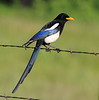 Magpie On Fence 1
