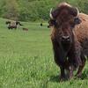 Onondaga Nation Buffalo
