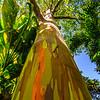 Rainbow Eucalyptus, Maui, HI