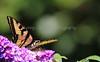 Yellow Swallowtail 2