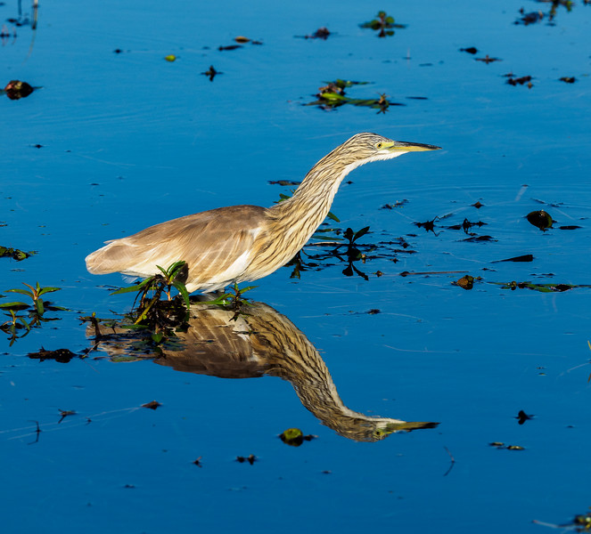 The blue sky reflected in the smooth-as-glass water resulted in a beautiful reflection, which is almost as sharp as the actual bird--a Squacco Heron.