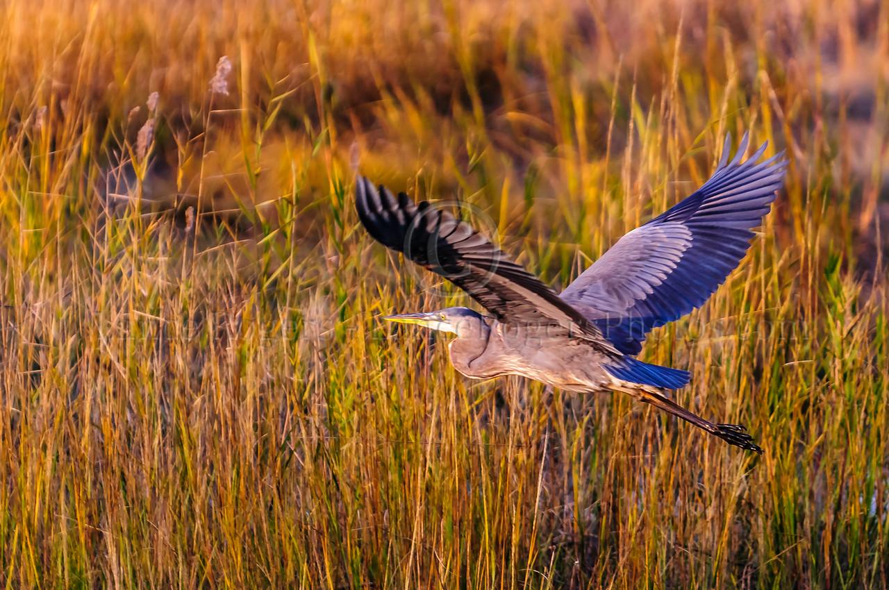 Great Blue Heron, Bombay Hook, DE