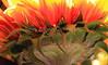 Backlit Sunflower 1