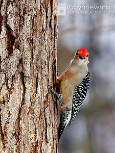 Red-bellied Woodpecker 01/11/11