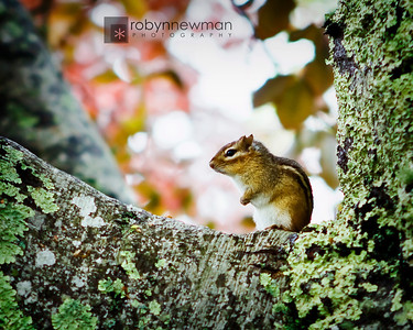 Chipmunk at the College of the Atlantic in Bar Harbor, Maine