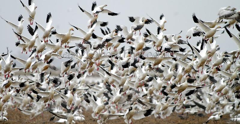 Snow Geese Takeoff 6