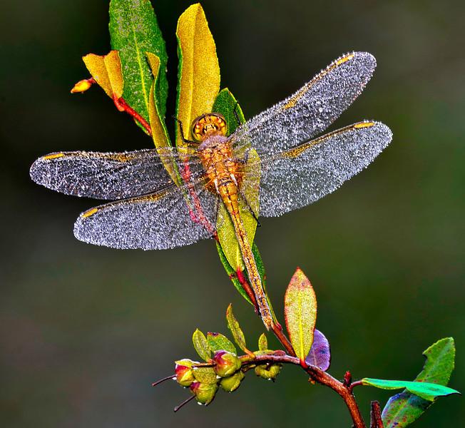 Dew on Dragonfly