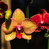 Orchids of Longwood Gardens