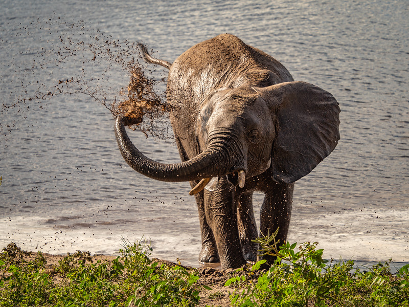 Elephants will often use their trunks to spray muddy water on their bodies to protect themselves from insect bites, etc.