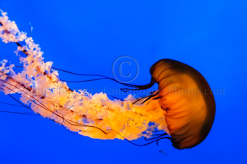 Pacific Sea Nettle @ National Aquarium