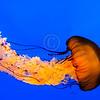 Pacific Sea Nettle @ National Aquarium