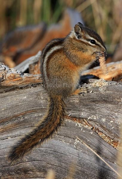 Chipmunk Profile