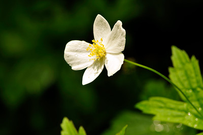 Anemone canadensis (Canada anemone, windflower)