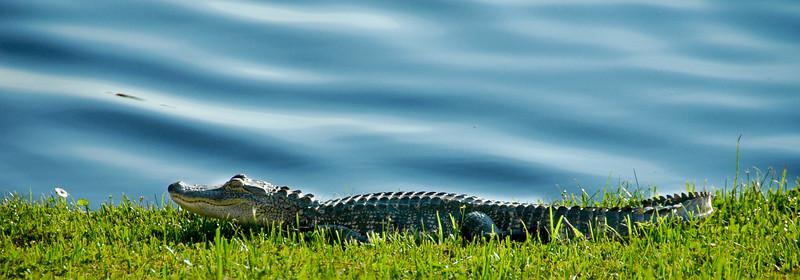 Alligator<br /> Tampa, FL