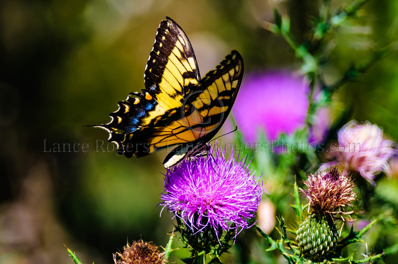 Eastern Tiger Swallowtail in the Thistles at Bombay Hook National Wildlife Refuge