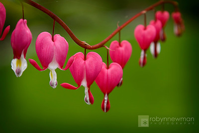 Bleeding Heart in Boothbay Harbor, Maine