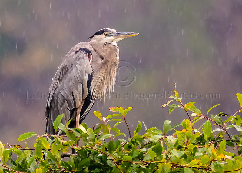 Great Blue Heron, Bombay Hook, Delaware
