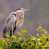 Great Blue Heron, Bombay Hook, Delaware