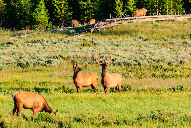 Elk of Yellowstone