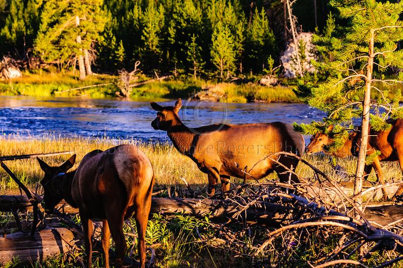 Elk along the Yellowstone