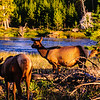 Elk along the Yellowstone