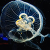 Moon Jelly (Aurelia aurita)