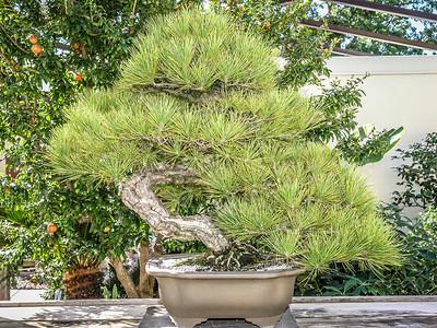 Bonsai - National Arboretum