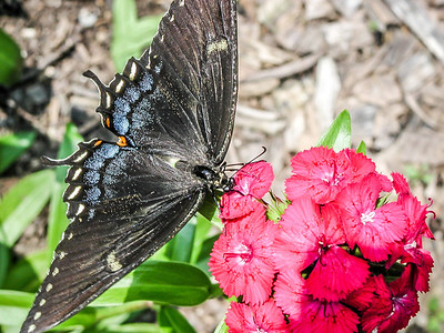 Swallow-tail Butterfly