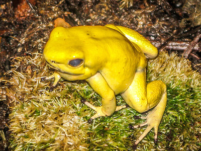 S. American Poisonous Frogs