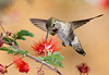 Annas Hummingbird at Red Flower