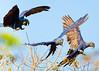 Hyacynth Macaw (2)