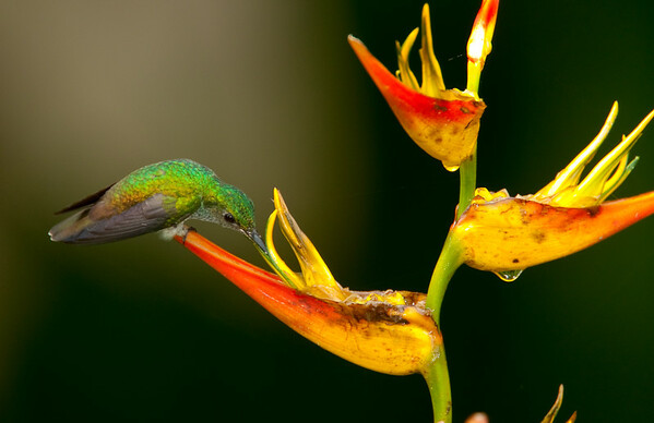 Scaly-breasted Hummingbird on Heliconia