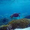 Green Sea Turtle in the Tumon Bay Marine Preserve, Guam