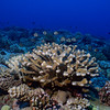 Lush coral growth at 11-mile reef, off the southwest coast of Guam