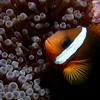 A dusky anemonefish (Amphiprion melanopus) in the tentacles of a bulb-tipped anemone (Entacmea quadricolor), at Western Shoals in Apra Harbor, Guam.